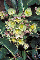 Helleborus x sternii 'Boughton<br />