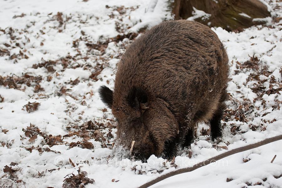 Wildschwein, Wild-Schwein, Schwarzwild, im Winter im Schnee, Sus scrofa, Wild boar, Sanglier d´Europe