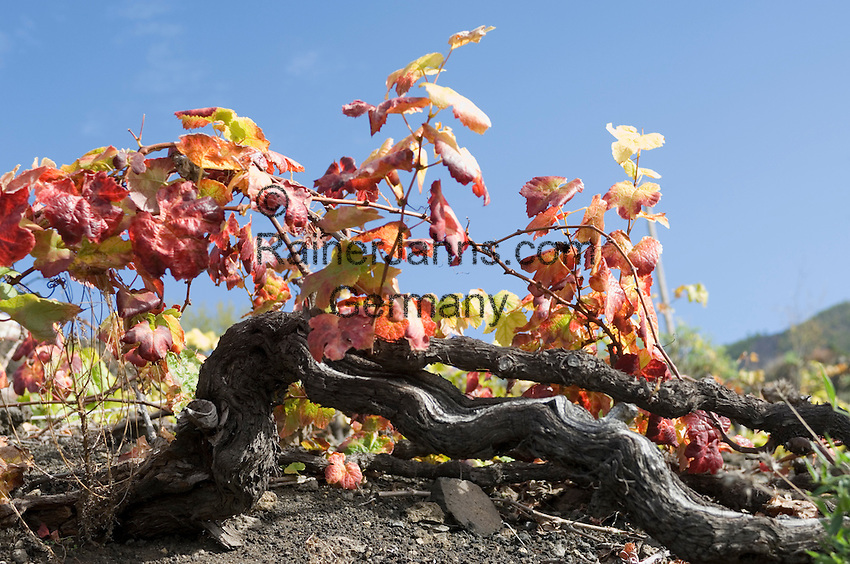 Spain, Canary Islands, La Palma, grape-vine