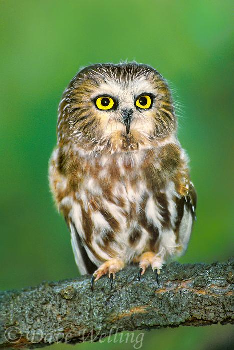 northern saw-whet owls aegolius acadicus are diminutive