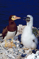 Brown Booby birds, mother and baby, Cayman Brac