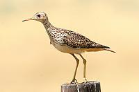 Adult upland sandpiper