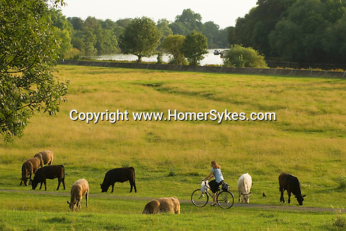 Petersham Meadows Richmond upon Thames UK .  Cows cattle grazing on National Trust Land. Cows have grazed on this pasture land for over 500 years.