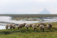 Europe/France/Basse-Normandie/50/Manche/Baie du Mont-Saint-Michel/ Le Val-Saint-Père:   moutons de pré-salé  au Gué de l'Épine  //  France, Manche, Bay of Mont Saint Michel, Bas-Courtils:  tidal marsh meadows sheep