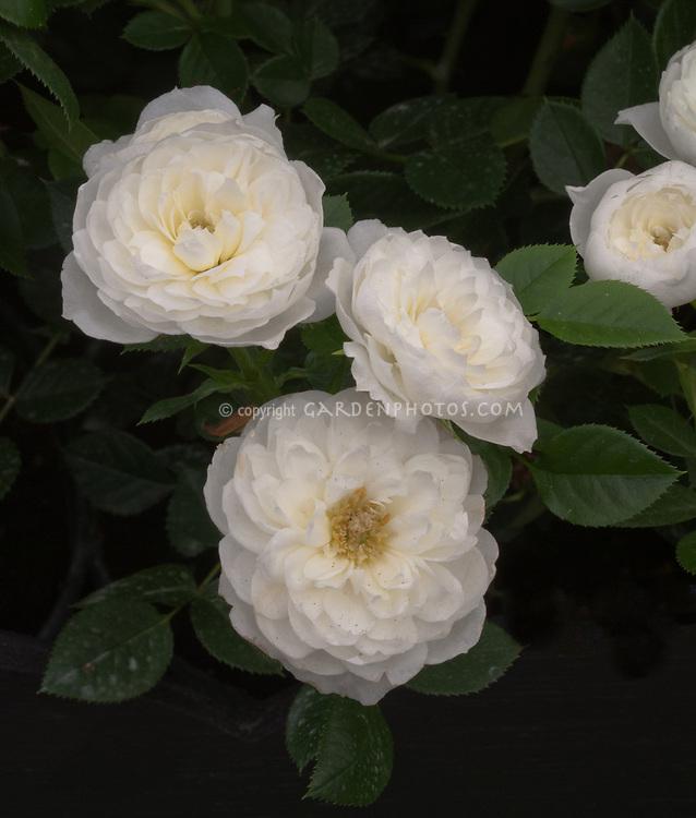 Rosa Snowcap aka Harfleet patio rose, white