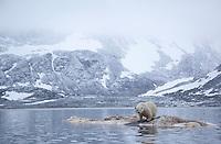 Polar bear (Ursus maritimus) feeding on dead whale, Svalbard, Norway.