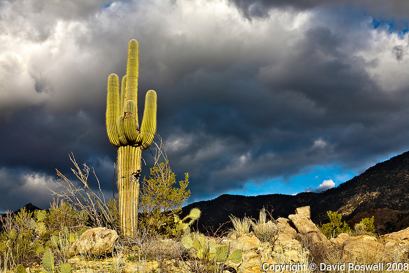 A saguaro lit by the light of the setting sun with a storm centered over the Catalina Mountains in the background.  Taken on the Sutherland Trail just outside of Catalina State Park, north of Tucson, Arizona.