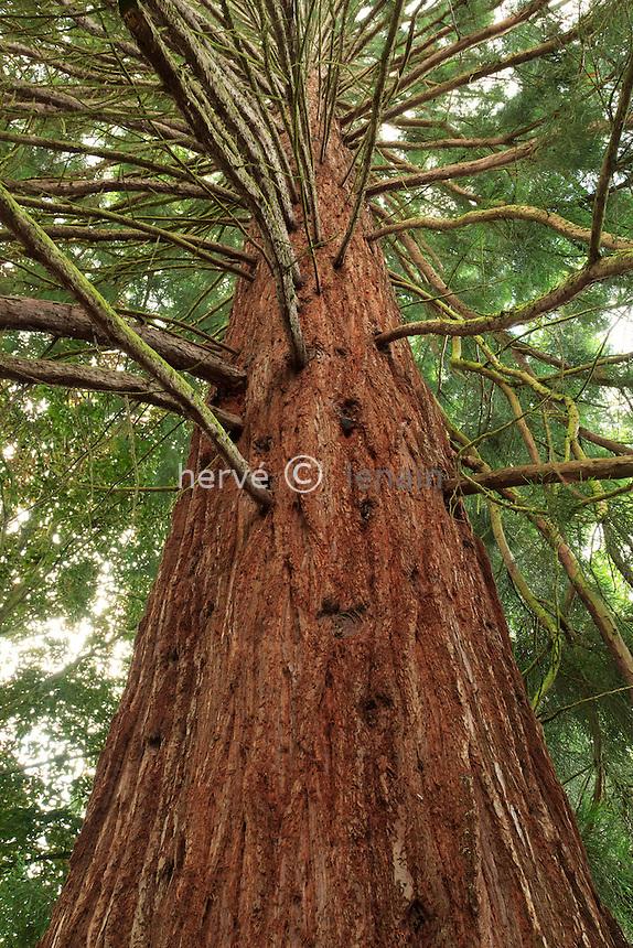 Parc Floral de la Source, Sequoiadendron gigantea, le tronc // Sequoiadendron gigantea, the trunk