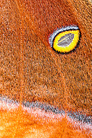 "Close-up of polyphemos moth wing with ""eye"" and textures"