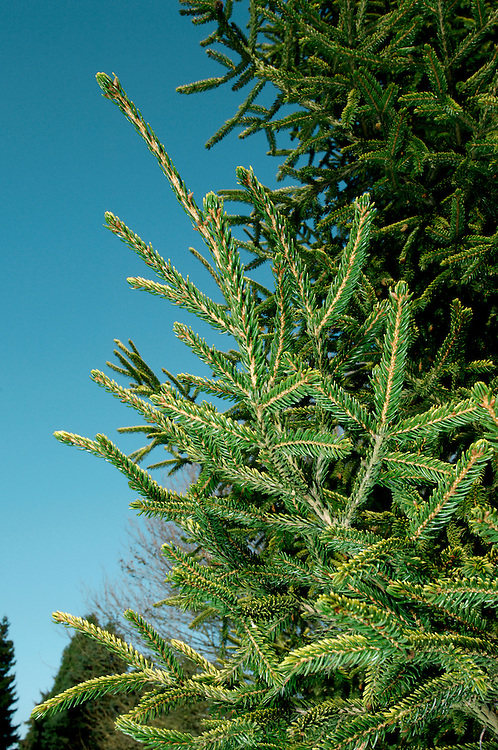 Oriental Spruce Picea orientalis (Pinaceae) HEIGHT to 40m<br /> Dense-foliaged evergreen growing into a strongly conical tree on a short, stout bole. BARK pale brown and scaly. BRANCNES slender with numerous hairy twigs. LEAVES Very short, blunt needles, to 1cm long, arise all round shoots, but leave more open area on the lower surface; dark green and glossy above and square in cross-section. REPRODUCTIVE PARTS Small male flowers are red then yellow. Female cones, to 8cm long, are pendent and ovoid, often curved and green with purple or grey tinges when still growing, ripening to shiny brown. STATUS AND DISTRUBUTION Native of mountain forests of Caucasus and NE Turkey, widely planted here for ornament, and occasionally for commercial forestry.