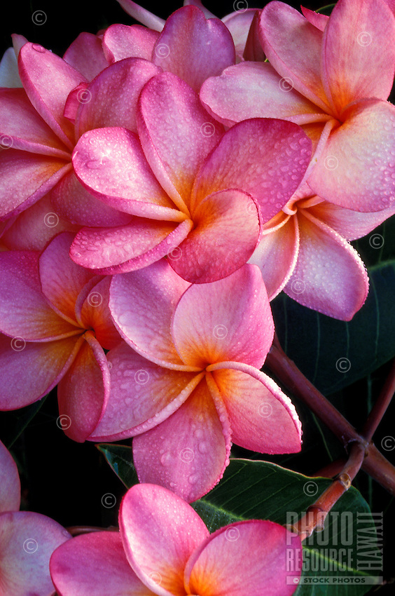 A group of luscious pink plumeria (Frangipani apocynaceae) blossoms with raindrops on the petals