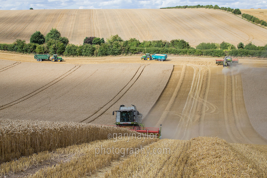 Harvesting winter wheat with Claas Lexion hillside combines - September, Lincolnshire Wolds