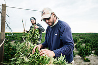 From left, Cory Bundukamara (cq) and Penn Mattison (cq) harvest industrial grade hemp at the Stanley Brother's farm of Charlotte's Web near Wray, Colorado, Monday, September 22, 2014. The Stanley Brothers have developed a popular strain of marijuana that has been found to be helpful in reducing seizures. The marijuana high in CBDs and low in THC, the chemical which gets a person stoned.<br /> <br /> Photo by Matt Nager