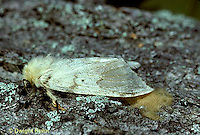 GY03-001b  Gypsy Moth - female laying eggs - Lymantria dispar