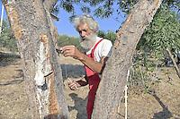 Castelbuono, coltivazione della  manna nel frassineto..<br /> Castelbuono: cultivating manna in the wood ash.