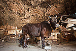 A cow stands in unknown Lodhi period tomb in Zamroodpur, Delhi, India, that has fallen into disrepair and has subsequently been turned into a de facto cow shed, rubbish dump and slum as the surrounding suburb has encroached upon it.The Archaeological Survey of India has been on a campaign to evict people who have illegally made heritage tombs their homes throughout the city in recent times but is facing stiff opposition from the residents. The area is littered with tombs that need excavation.