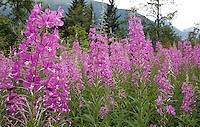 Photo by Stephen Brashear.Fireweed grows thick along John Wayne Pioneer Trail between Hyak, Wash., and Rattlesnake Lake near North Bend, Wash., Sunday Aug. 17, 2008.
