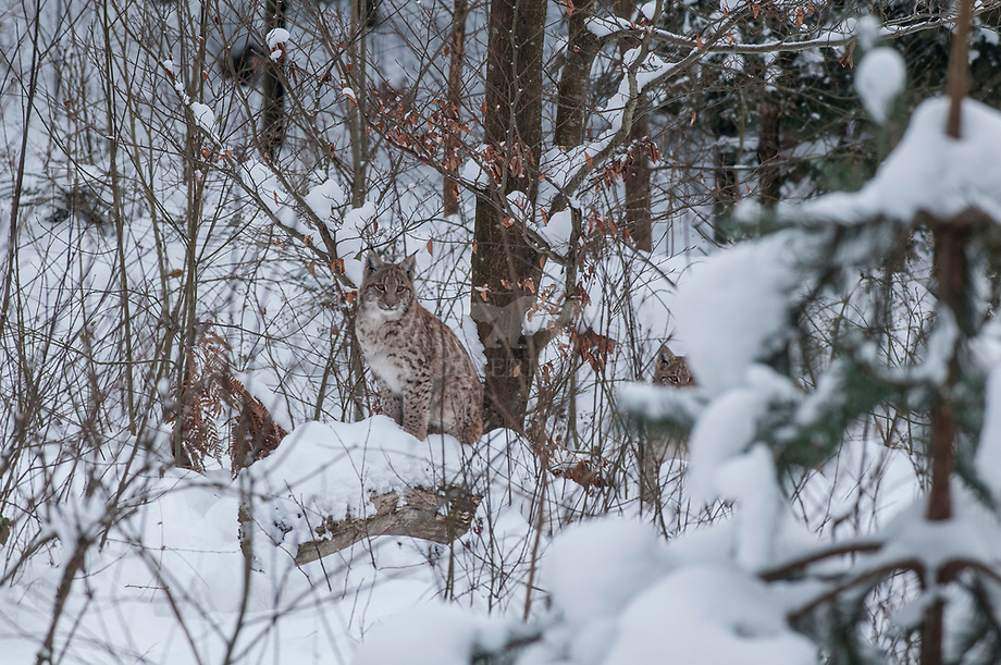 Lynx (Lynx lynx)moeder met jong in sneeuw