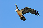 Lammergeier or Bearded Vulture in flight. Ordesa y Monte Perdido national park, Aragon,Pyrenees, Spain.