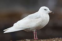 """Immature, 2nd winter """"Kumlien's"""" Iceland Gull (Larus glaucoides kumlieni). This individuals plumage is heavily bleached. Tompkins County, New York. December."""