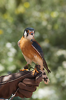 Male kestrel, Falco sparverius. Arizona-Sonora Desert Museum, Tucson, Arizona