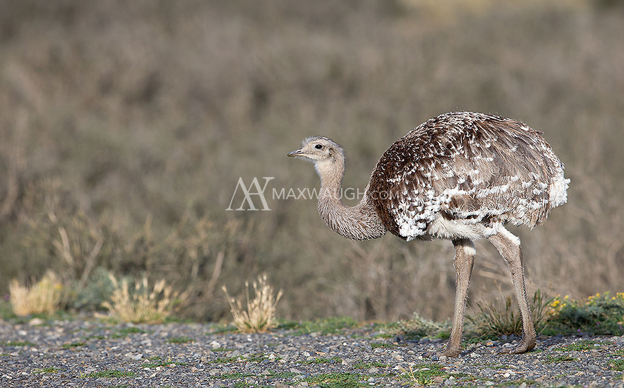 The largest bird in Patagonia is the flightless Darwin's rhea.