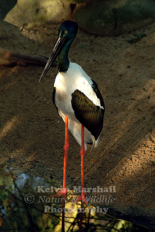 The Black-necked Stork, or Jabiru, is the only stork found in Australia. Standing at a height of 129 - 137 cm, with black and white body plumage, glossy dark green and purple neck and massive black bill, it is easily distinguished from all other Australian birds. The legs are long and coral-red in colour. The female is distinguished by its yellow eye. Immature birds resemble adults, but the black plumage is replaced by brown and the white plumage is duskier.