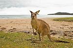 Eastern Grey Kangaroo (Macropus giganteus) juvenile on beach, Pebbly Beach, Murramarang National Park, New South Wales, Australia