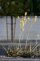 """Cropped fairly tightly - don't plan to enlarge this one a lot.  The setting sun makes this flowering plant (yellow yuccas - Hesperaloe parviflora) on the median pop against the white wall and tree in the background. This was part of the 2015 rebuild of the Grand Avenue and Longview Drive intersection for Diamond Bar's 2015 """"Grand Avenue Beautification"""" project, landscape architecture for the project was by David Volz Design."""