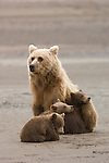 Brown bear mother and three spring cubs at the mouth of Silver Salmon Creek on the western shores of Cook Inlet in Lake Clark National Park, Alaska.