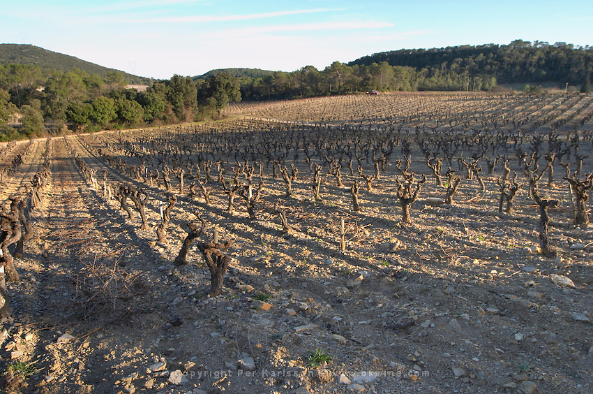 Domaine de Mas de Martin, St Bauzille de Montmel. Gres de Montpellier. Languedoc. Vines trained in Gobelet pruning. In the vineyard. France. Europe.