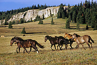 Wild Horses run/gallop across subalpine meadow, Western U.S., late summer..(Equus caballus)