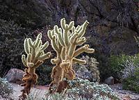 Cylindropuntia bigelovii, Teddy Bear Cholla, cactus in Living Desert Garden, Palm Springs, California.