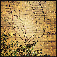 A vine grows up a brick wall on 21st Street in South Philadelphia on February 12, 2013.