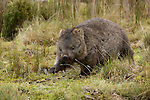 Wombat wombat (vombatus orsinus).