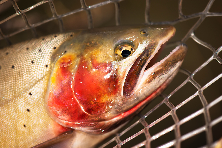 A Yellowstone cutthroat trout is netted on a small western Montana trout stream.