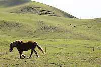 Horse on a pasture on Kohala Mountain Road, Big Island of Hawaii