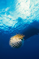 balloonfish, spiny puffer, brown porcupinefish, or long-spine porcupinefish, Diodon holocanthus, inflated with spines erect as a defense mechanism Grand Cayman, Cayman Islands (Caribbean Sea)