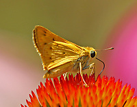 Male fiery skipper