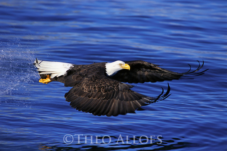 Bald Eagle Flying with Fish in Talons; Kenai Peninsula Borough, Alaska, USA