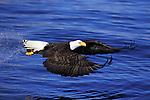Bald Eagle Flying with Fish in Talons; Kenai Peninsula Borough, Alaska, USA