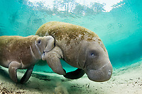 Florida manatee, Trichechus manatus latirostris, nursing young calf, Three Sisters Spring, Crystal River, Florida.
