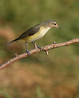 A drab bird of riparian woodlands, the Warbling Vireo is more easily heard than seen. It has no distinctive field marks, but its rapid warbling song with a accented, high-pitched last note is relatively easy to recognize.