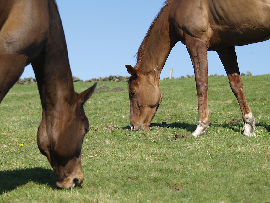 Horses, Horse, Grazing, Feed, Food, Animals, Grass, Blue Skies, Farm, Race Horses,