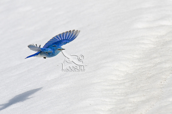 Male Mountain Bluebird (Sialia currucoides) flying over late melting snowbank.  Western U.S., May.