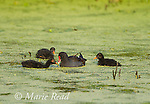 Common Gallinules (Gallinula chloropus), adult with three downy chicks, Montezuma National Wildlife Refuge, New York, USA