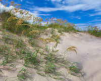 Pea Island National Wildlife Refuge, North Carolina<br /> Seaoats (Uniola paniculata) on dunes of Pea Island, Cape Hatteras