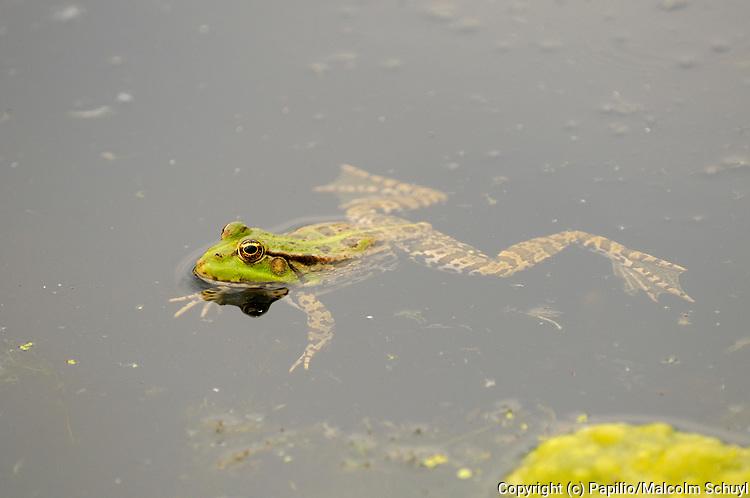 Marsh Frog (Rana ridibunda) floating motionless at water surface, Bulgaria