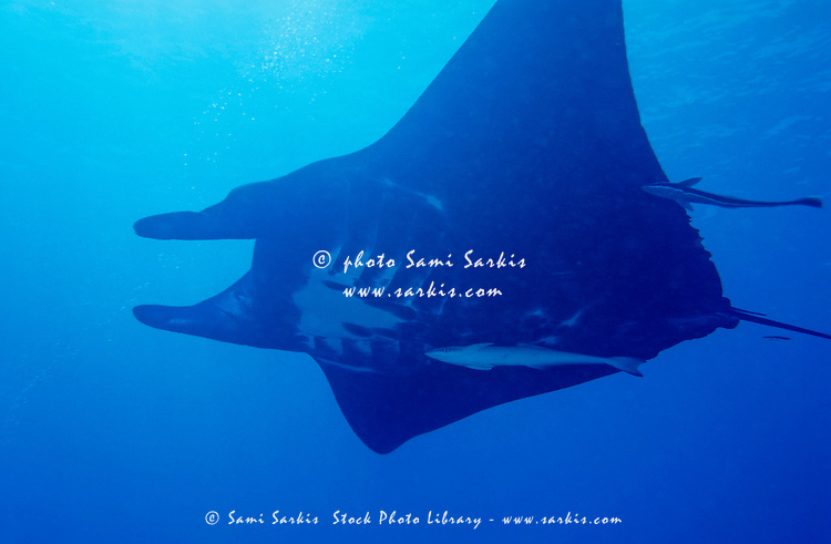 Manta ray (manta birostris) and a remora fish swimming in the Boulari Channel, Noumea lagoon, New Caledonia.