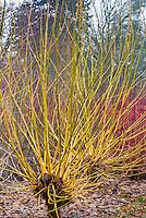 Acer negundo Winter Lightning in yellow winter stems
